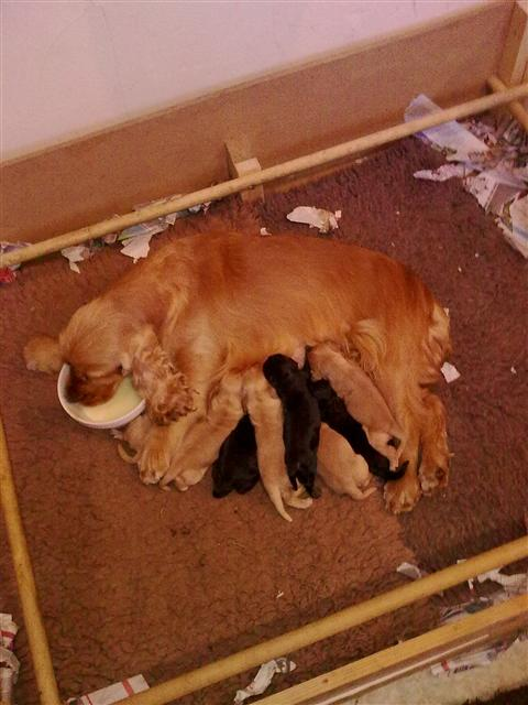 scarlets puppies 006