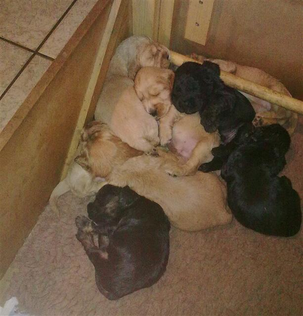 scarlets puppies