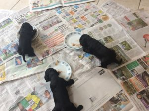 puppies-solid-food